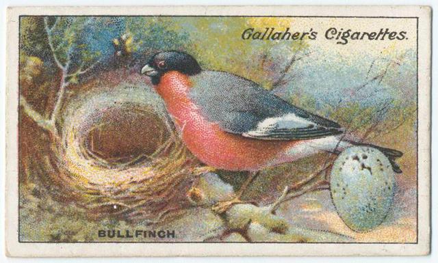 Name:  bullfinch.jpg Views: 56 Size:  70.3 KB