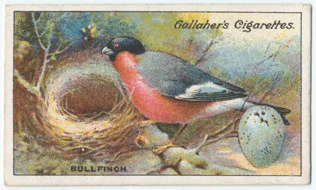 Name:  bullfinch.jpg